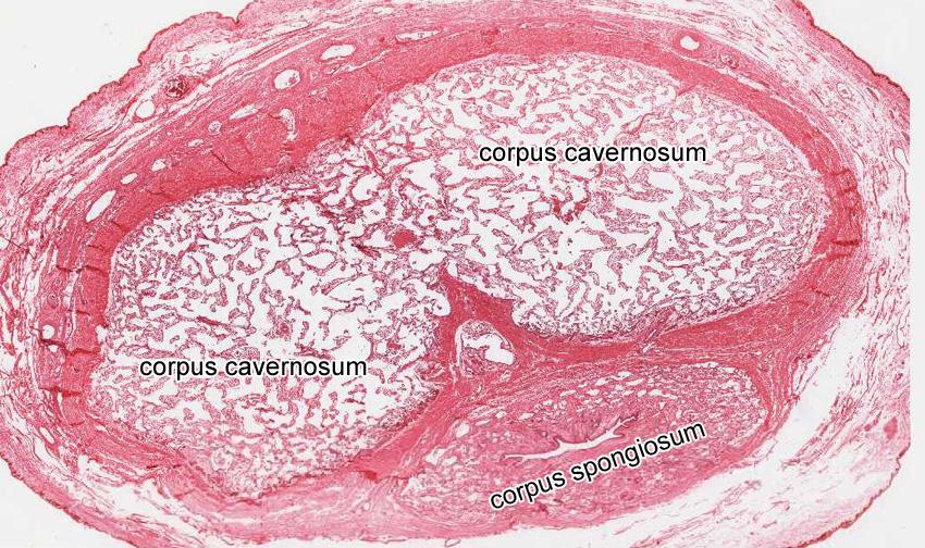 Penis Histology 60