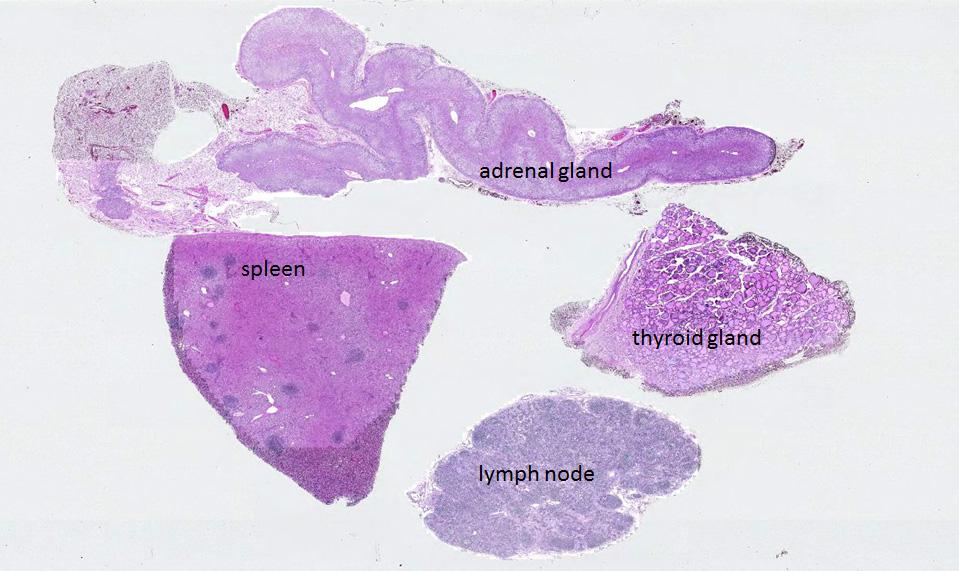 Duke Histology Endocrine System