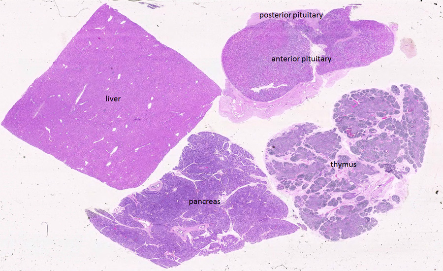 Duke Histology Endocrine System