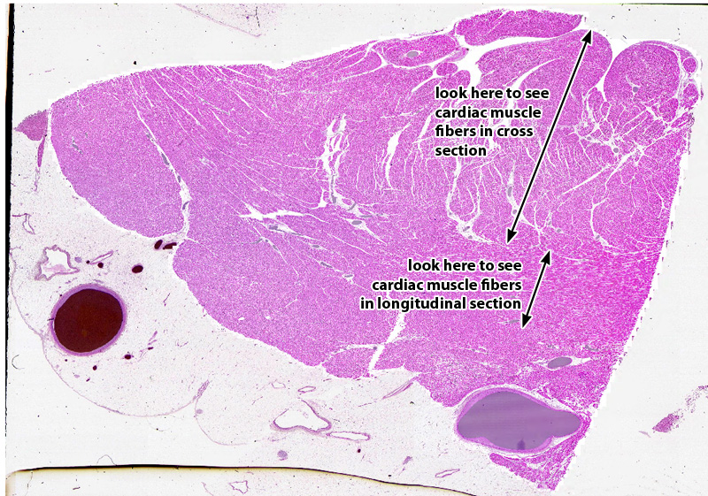Duke Dpt Histology Muscle Nerve Tissue