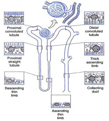 Duke Histology - Urinary System
